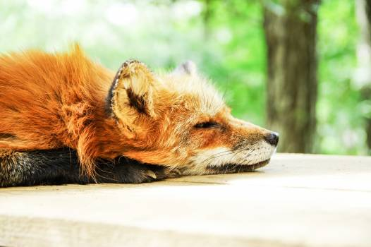 Animal cute fox sleep #79654