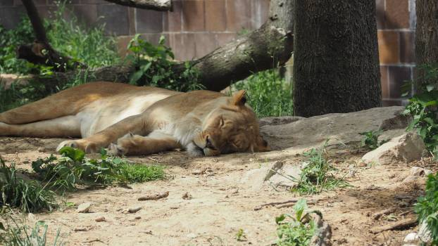 Africa animal brown carnivore #79681