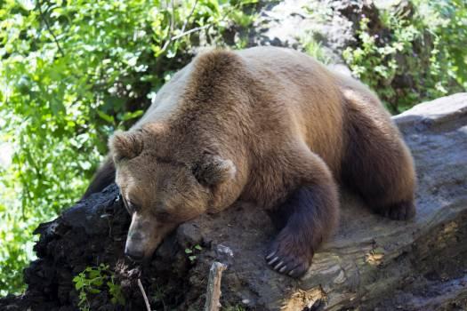 Afternoon nap european brown bear mammal sleeping on a log #79682