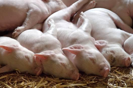 Adorable animal barn breed #79749