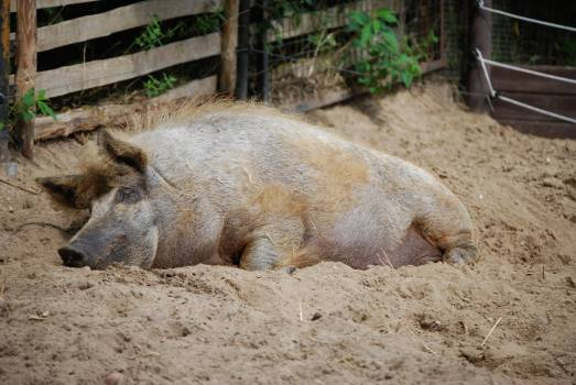 Farm pig rest sleep #79756