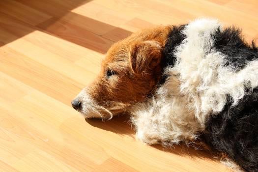 Dog fox terrier sleep tired #79828