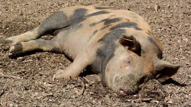 Farm animals peace pig rest #79851