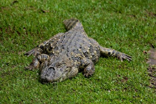 Alligator acu reptile sleeping alligator wild animal Free Photo