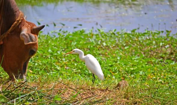 Animal talk ceylon cow crane Free Photo