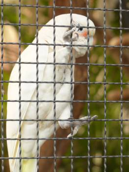 Bird cacatua goffiniana cockatoo goffins cockatoo Free Photo