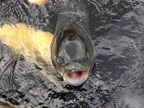 Carp chat crucian carp fish #80719
