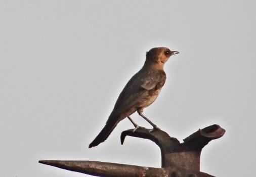 Agra bird brown rock chat cercomela fusca Free Photo