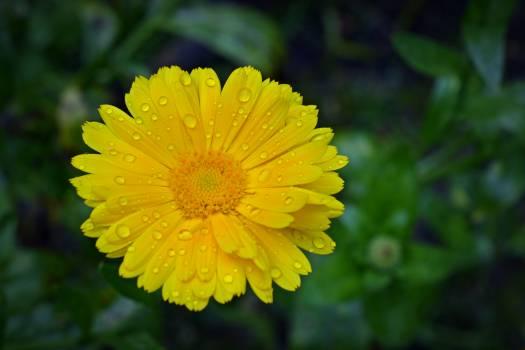 Bloom blossom calendars calendula officinalis Free Photo