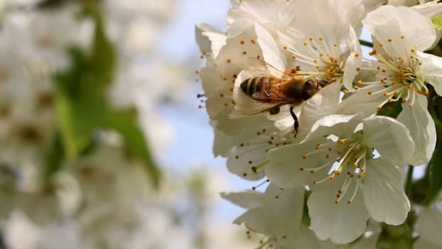 Bee flourishing pear flower nectar #80893