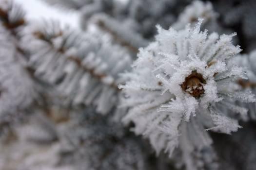 Pine rime white Free Photo