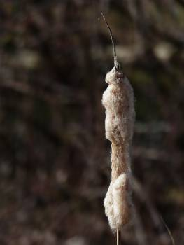 Cattail flying seeds fuck club inflorescence Free Photo