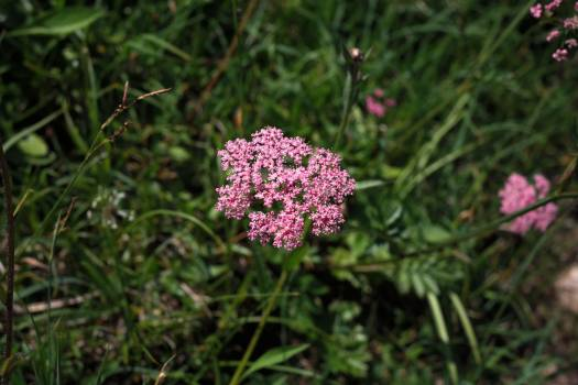 Achillea achillea millefolium amount of time herb asteraceae Free Photo