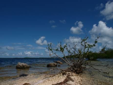 Florida red mangrove #82505