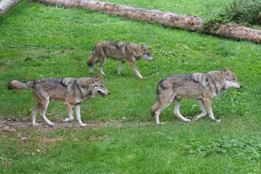 Canis lupus carnivores european wolf mammal #84193