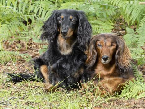 Animals barking dachshunds dog #84251