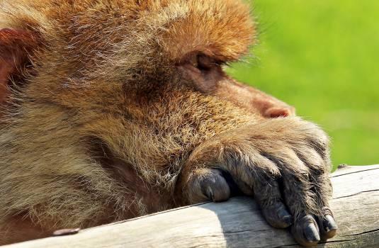 Animal animal recording animal world barbary ape #84310