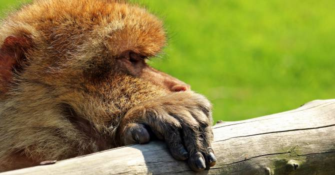 Animal animal recording animal world barbary ape #84312