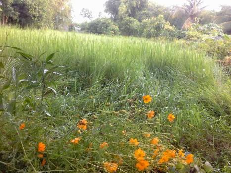 Summer Grass Plant #85334