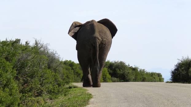 African big ear elephant Free Photo