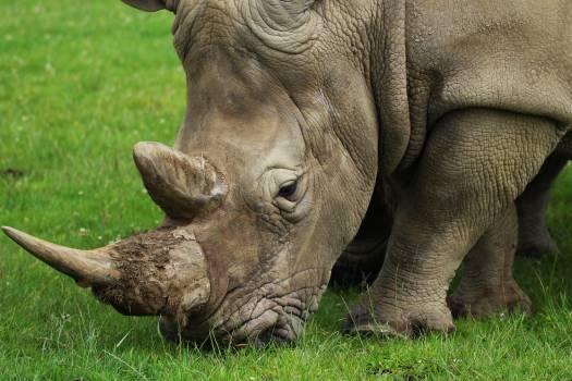 Animal endangered game herbivore Free Photo