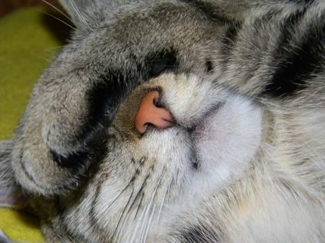 Animals domestic cat dream the nose Free Photo
