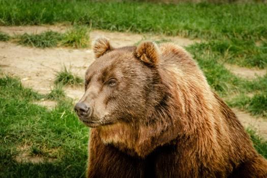 Animal bear brown bear dangerous Free Photo