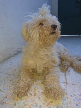 Terrier Soft-coated wheaten terrier Dog #86973