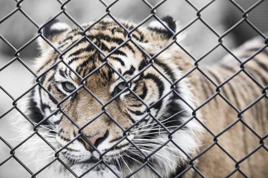 Animal animal photography big cat cage #87797