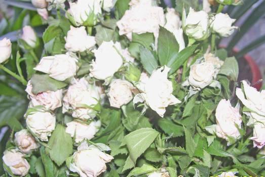 Roses white roses Free Photo