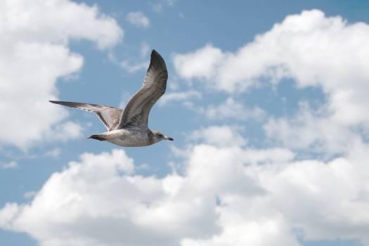 Seagull Free Photo