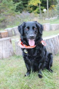 Flat-coated retriever Retriever Sporting dog #88795