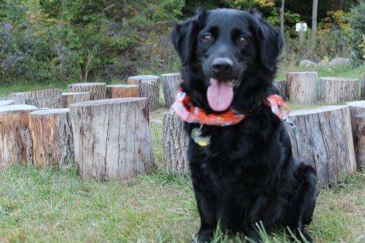 Retriever Flat-coated retriever Sporting dog #88796