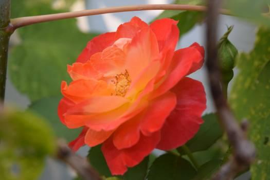 Flower garden flower rose Free Photo