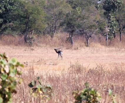 Antelope Bovid Impala Free Photo