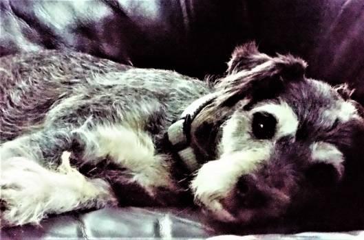 Cardigan Dog Corgi #89391