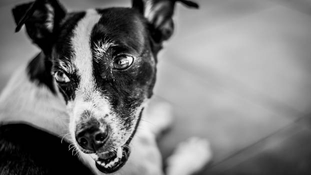 Boston bull Terrier Hunting dog #90006