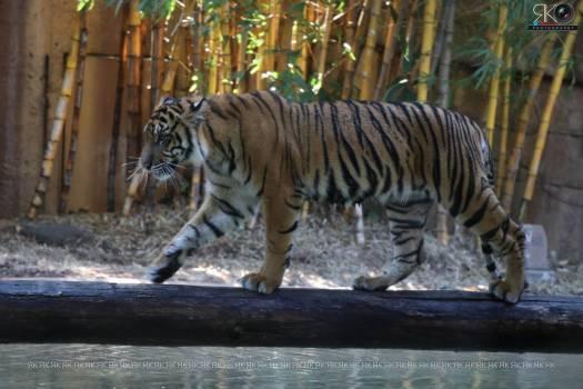 Feline Big cat Tiger Free Photo