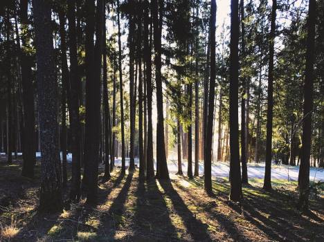 Dark forest sun tree Free Photo