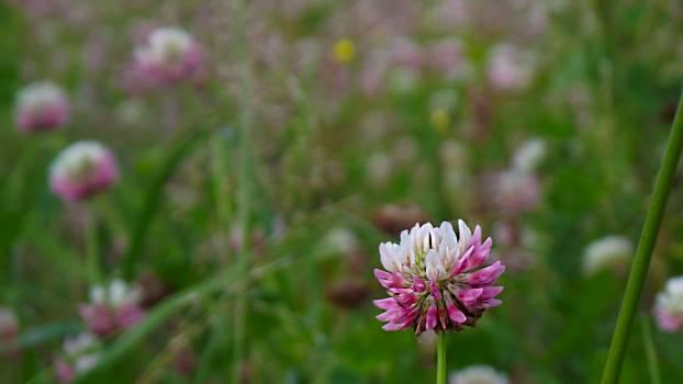 Clover Flower Plant #90811