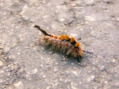 Arthropod asphalt beautiful caterpillar Free Photo