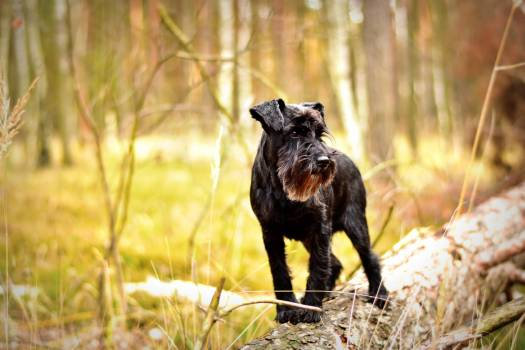 Dog forest miniature schnauzer pet photography #91469
