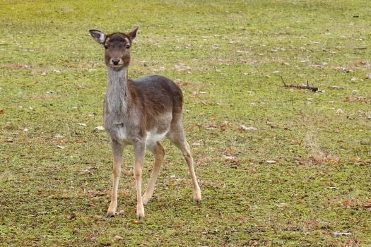 Animal elbaue fallow deer forest #91475
