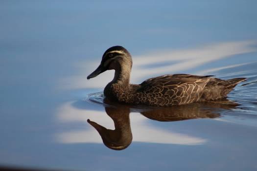 Bird blue duck female Free Photo