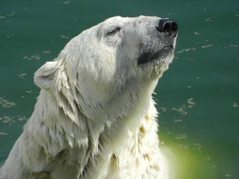 Animals bear white Free Photo