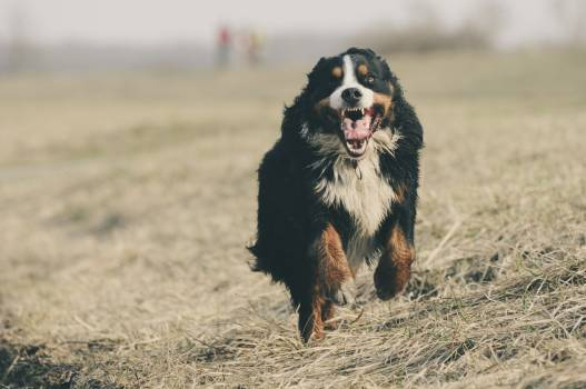 Adorable animal berner sennen bernese mountain dog #92121