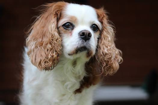Adorable animal canine cavalier king charles spaniel #92130