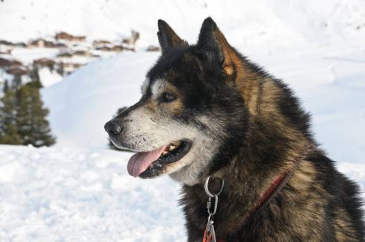 Animal dog sled snow #92146