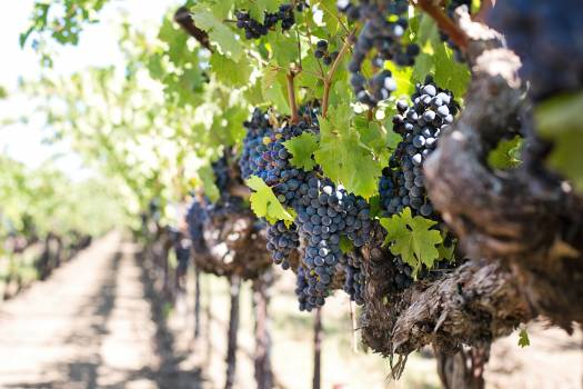 Cluster fruit grapes grapevine Free Photo