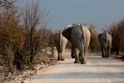 Botswana drought elephant road Free Photo